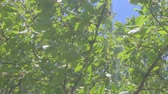 saturado : View through cherry branches in the spring time. Cherry branches moved in the wind. Stock Footage