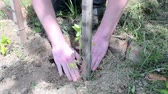 one person only : Planting of tomato. Gardener planting tomato. Young plant of tomato in the hand of farmer