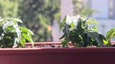 window gardening : Dwarf tomatoes in window box. Tomatoes on widowsill Stock Footage