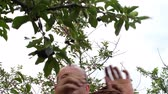Man picking sour cherries in sour cherry tree. Mature man gathering sour cherries. Middle aged man, gardener in summer Vídeos