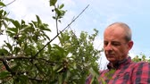 Male farmer picking sour cherries. Middle aged man gathering sour cherries in sour cherry tree. Mature man, gardener in summer