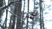 лес : Rowanberry in the snow