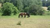 Three horses grazing sappy grass in green lawn at a birch forest in spring