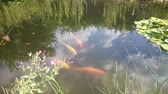 próspero : Golden fishes are swimming in pond with dark blue water and green plants. Close up view of amazing colorful fishes moving slowly in the water.