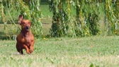 field : HD - Dog running. Slow motion Stock Footage