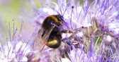 лохматый : 4K - Bumblebee foraging flower nectar. Close-up