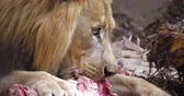 4K - Lion eating meat. Close-up Стоковые видеозаписи
