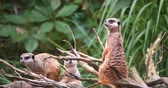 4K - African meerkats look around surroundings