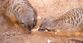 4K - Meerkats are looking for food