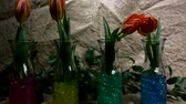 Flowers Are Jumping Against a juta Background. Roll Call. Beautiful, Red Tulips in the Spring. Stok Video