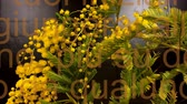 Mimosa. Mimosa Spring Flowers black background. Blooming mimosa. With moving write.