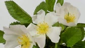 тычинки : Timelapse on White Wild Rose flowers. Close up. Rambler Rosa Multiflora bush sways on a spring breeze. Concept of springtime, nature. Gardening concept.