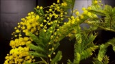 mimose : Mimosa Spring Flowers black background. Blooming mimosa. With move.