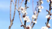 wild cherry : Blooming tree and bees collecting nectar in spring