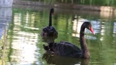 лебедь : Black swan on a lake Стоковые видеозаписи