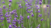 homeopatia : Blooming lavender flowers