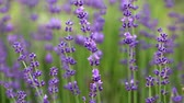 perfumy : Blooming lavender flowers