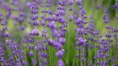 homeopatický : Blooming lavender flowers
