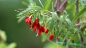 medicina alternativa : Goji plant with fruits Vídeos