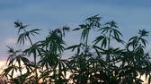 ganja : Cultivation of cannabis. Green branches of a young hemp crouch in the wind against a sunset background.