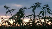 marihuana : Sun rays of the sun at sunset. Cultivation of cannabis. Wideo