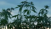 ilegal : Sprouts of field hemp can be heard in the wind. Tops of the young cannabis against the background of the sky. The concept of legalizing or banning marijuana.