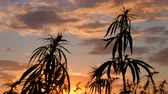 zneužívání : Silhouette of the top of branches of wild hemp on a background of sunset. Cultivation of the cannabis. Legalization of marijuana. Dostupné videozáznamy