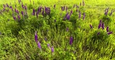 lupine : Beautiful Lupins in the field. Dynamic Shooting Stock Footage