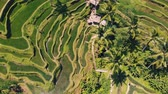 ryż : Aerial view of Rice Terrace field taken in Tegallalang, Bali Indonesia