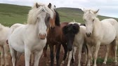 celta : Beautiful Iceland blue eyes horses