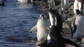 krill : Fat penguin run in the water of Antarctica Stock Footage