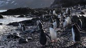 krill : Gentoo penguins on the beach of Antarctica Stock Footage