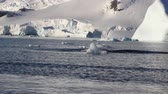baleia : Humpback whale in Antarctica water Stock Footage