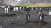 polární : KIng penguin Colony with chicks in Antarctica