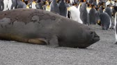 male animal : Elephant seal sub adult crawling near king penguin colony in Antarctica