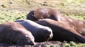 krill : Elephant Seals lying on green grass of Antarctica