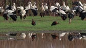 plegadis : Glossy ibis and white storks in hula valley Israel Stock Footage