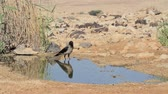 cornix : Hooded crow in the Negev desert