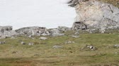 лиса : Arctic fox on the rocks Arctic fox in Spitsbergen Norway Mountain
