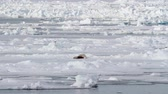 ursus : Polar bear feeding from a seal Polar bear eating seal on ice in spitsbergen Norway Stock Footage
