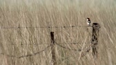 senator : Woodchat on barbed wire