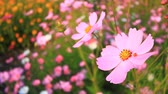 blooming : Cosmos field in breeze