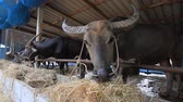 tajlandia : buffalo eating grass in farm Wideo