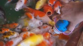 pesca : Colorful koi carps in pond.