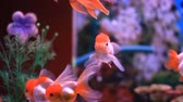 рыба : Goldfish swim in a tank