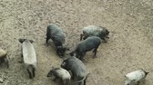 porco : A group of wild boars with young pigs looking for food in the forest. A large herd of wild pigs of all ages in the forest. Vídeos