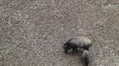 kismalac : Two wild pigs dig in the mud for food and feed in the forest. An omnivorous artodactyl non-ruminant mammal of the medium-sized boar genus, walking along a dirty field.