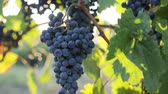 vinná réva : Ripe blue grapes in the vineyard, dolly shot