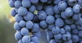 cachos : Close up of a blue grape with dew drops