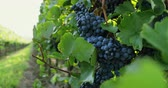 cachos : Rows of vineyards with blue grapes